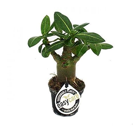 Grow Your Secret Garden Adenium Obesum Desert Rose Muengmhagan