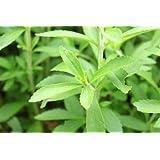 Stevia zum selber pflanzen / frisches Saatgut / ca. 100 Samen / der natürliche Zuckerersatz / für Garten oder zur Aussaat im Kräutertopf