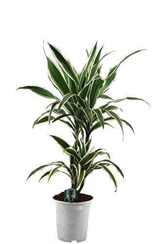 Amazon.de Pflanzenservice Blumen Drachenbaum Warneckii, 1 Pflanze, mehrfarbig