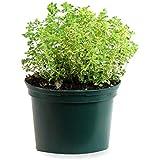 Orégano (Maceta 10, 5 cm Ø) - Planta viva - Planta aromatica ...