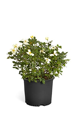 Brighter Blooms Sunny Knockout Yellow Rose Bushes - Ready to Plant Live Potted Rose Plants- Large Rose Bushes Ready to Bloom. Avoid Tiny Quarts - 2 Gallon