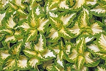 Coleus Annual (Fash Lady 50+ Coleus Wizard Jade Shade Loving Flower Seeds/Annual/Great Gift)