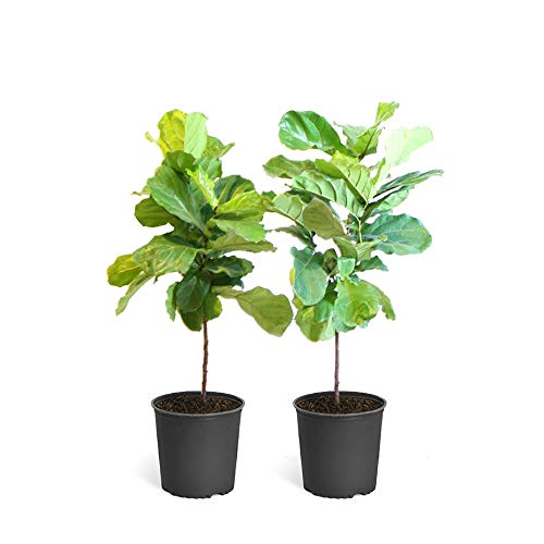 Fiddle Leaf Fig - 2 Trees in 3 Gallon Pots - The Most Popular Indoor Fig Tree- Tall, Live Indoor Fig Trees (2 Trees in 3 Gallon Pots) by Brighter Blooms (Image #3)