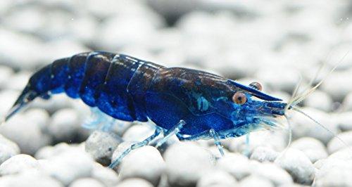 10 Live Blue Diamond Shrimp aka Sapphire Shrimp (Neocaridina davidi) - Breeding Age Adults at 1/2 to 1 Inch Long by Aquatic Arts by Aquatic Arts