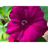 SUPERCASCADE BURGUNDY Petunia Seeds - Hanging Baskets, Large Blooms, Fresh Seed (30-35 seeds)