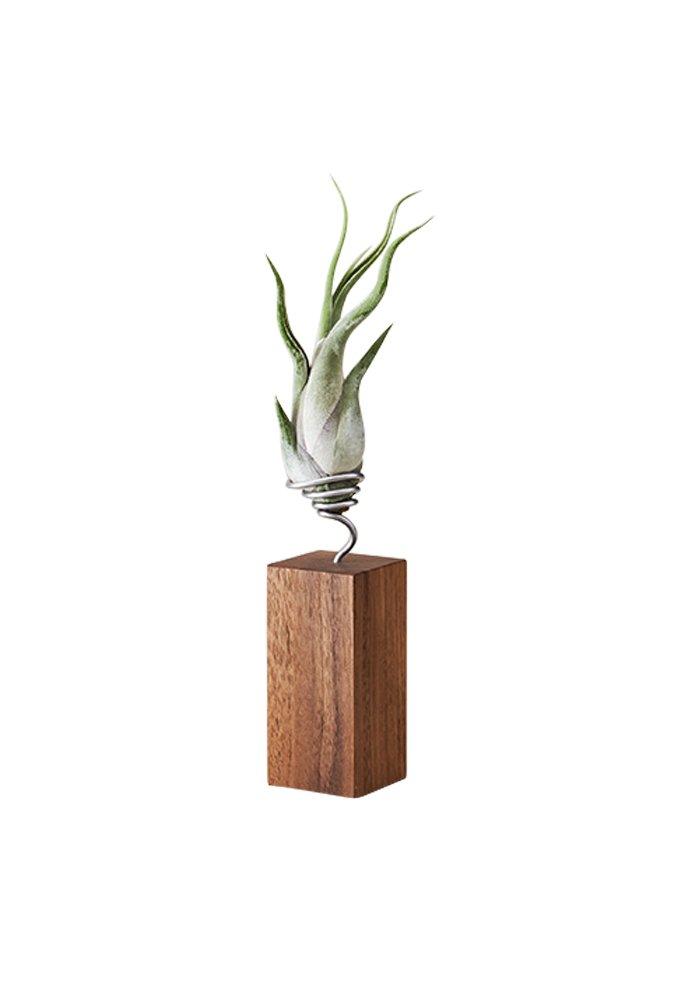 EVRGREEN Luftpflanzen Tisch-Deko Tillandsie mit Design Nuss-Baum-Holz Halter Pflegeleichte Pflanze für Innen - M