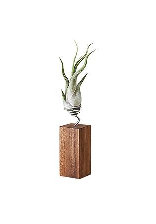 Evrgreen Luftpflanzen Tisch Deko Tillandsie Mit Design Nuss Baum