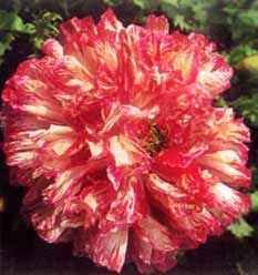 100 FLEMISH ANTIQUE MIXED COLORS PEONY POPPY Papaver Peoniflorum Flower Seeds by Seedville