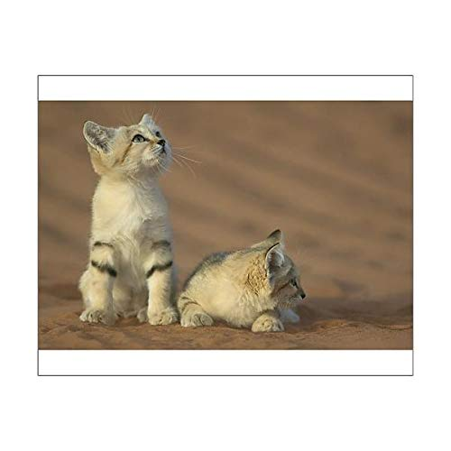 Media Storehouse 10x8 Print of Sand cat (Felis Margarita harrisoni) (15427093)
