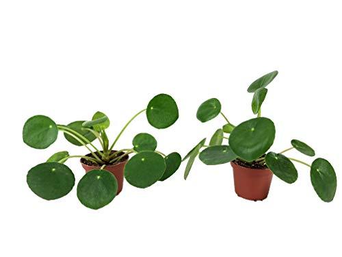 Set of 2 Pilea peperomioides Plants (2 Pot) (Chinese Money Plant/Pancake Plant/UFO Plant)