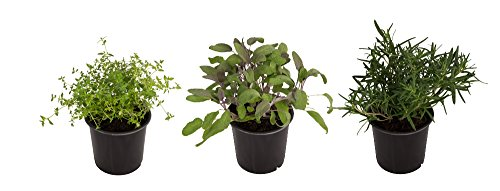 Rocker B Plant Farms HB001 Rosemary/Sage/Thyme Fresh Cooking Herb Sampler Box, 3 Pack Collection, Pint - Sage Herb Plant