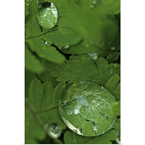 GREATBIGCANVAS Poster Print Entitled Raindrops on Wood Fern Fronds Boreal Forest SC AK Summer Near Anchorage by Jim Barr ()