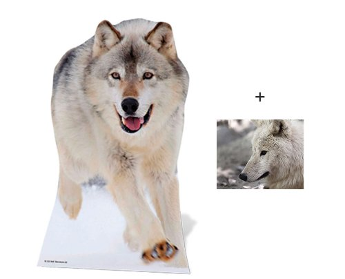 Wolf - Wildlife/Animal Lifesize Cardboard Cutout / Standee / Standup - Includes 8x10 (20x25cm) Star Photo