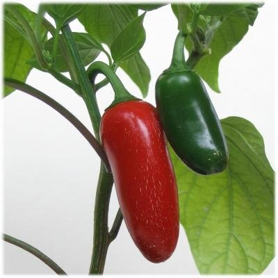 75+ Jalapeno Pepper Seeds- Heirloom Variety