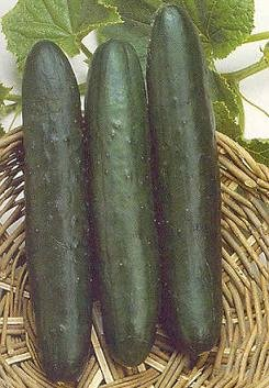 F1 Sweet Slice Cucumber 25 seeds