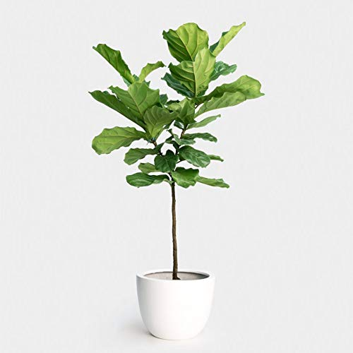 Fiddle Leaf Fig Standard (Ficus lyrata) (3-4 feet)