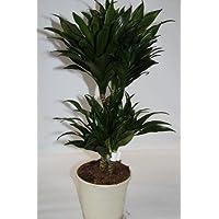 Dracena compacta (1 tronco) - Planta viva de interior