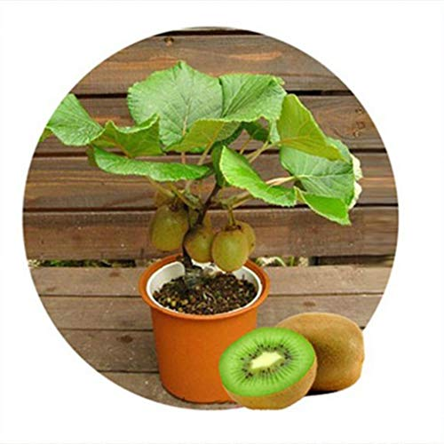 censhaorme 100 Piezas/Bolsa Kiwi Frutas Semillas Actinidia chinensis Delicioso jardín Frutas Semillas: Amazon.es: Hogar