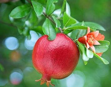Vivaio Rosso Melograno : Melograno wonderful piante melograno da frutto di due anni in vaso