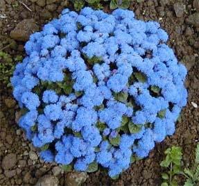 Amazoncom 250 DWARF BLUE BEDDER AGERATUM aka Floss Flower