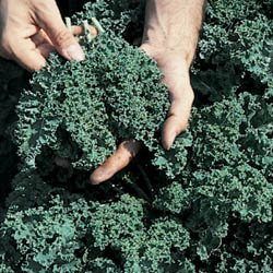 Kale Vates Blue Curled By Seed Kingdom