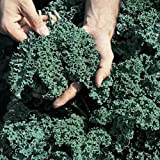 Kale Vates Blue Curled Great Heirloom Vegetable BULK 30,000 Seeds By Seed Kingdom