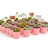 2 in. Wedding Event Rosette Succulents with Pink Metal Pails and Thank You Tags (30)