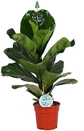 Ficus  lyrata House Plant in a 21cm Pot 90cm tall Rare