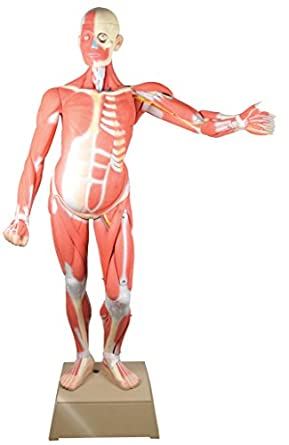 Muscular Human Anatomy Model Life Size Gendered Male Leonard