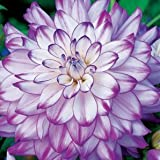 Purple and White Dinner-plate Dahlia Seeds - My Secret Gardens