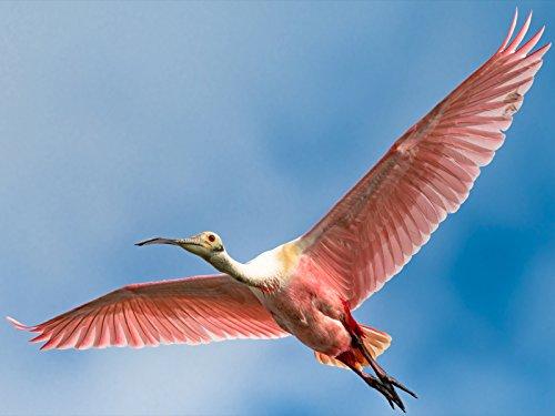 Wildlife Combo - Nikkor 200mm-500mm - Birds In Flight Performance - Roseate Spoonbills and One Big Alligator