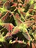 ~CRASSULA Capitella Thyrsiflora 'Red Pagoda'~Succulent plant-sedum-sempervivum