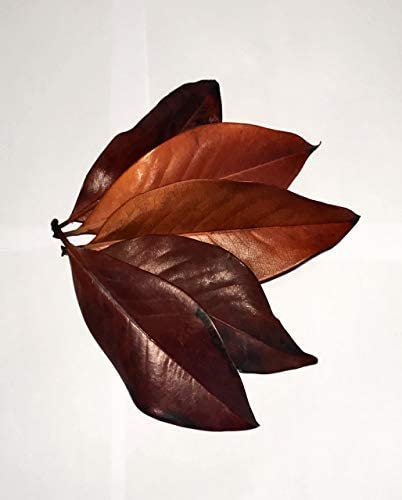 Simple Dragons Magnolia Leaves Vivarium//Aquarium leaf litter and decoration, safe for reptiles, fish, amphibians etc