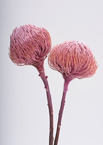 Afloral-Schusters-of-Texas-SCH-Dried-Banksia-Protea-Pod-Bunch-in-Pink-12-18-Tall