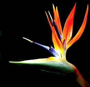 Bird Of Paradise Plants Exotic Orange Flower Strelitzia Reginae Potted