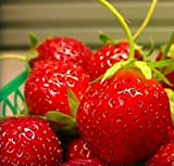 Mara Des Bois French Everbearing Strawberry 50 Plants - Best Flavor! - Bare Root