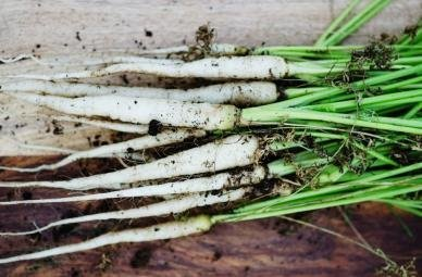 David's Garden Seeds Carrot Lunar White D125CAR (White) 500 Heirloom Seeds