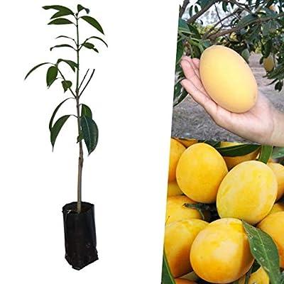 Bouea macrophylla Bouea burmanica Plant Marian Plum Maprang Ma-praang Gandaria Tropical Fruit Plant Grafted Tree
