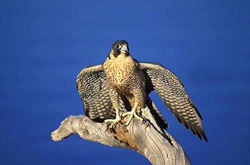 Peregrine Falcon On Perch Poster Print