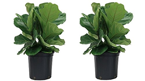 Costa Farms Ficus Pandurata Fiddle-Leaf Fig in 8.75-Inch Grower Pot (2-Pack) by Costa Farms