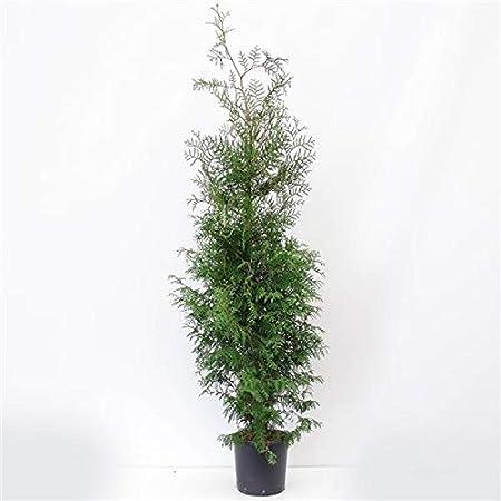 Thuja occidentalis Brabant Heckenpflanze Lebensbaum Brabant 140-160 cm Koniferen