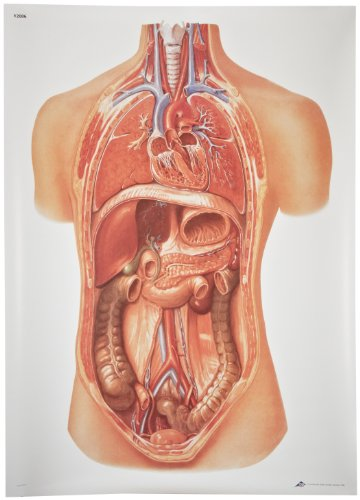 """3B Scientific V2006U Internal organs Anatomical Chart without Wooden Rods, Oversize Poster, 33.1"""" Width x 46.5"""" Height"""