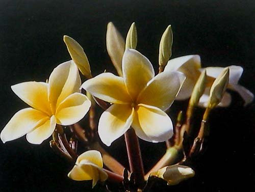 Hawaiian Yellow Plumeria Plant Cuttings (Pack of 4) Grow Hawaii