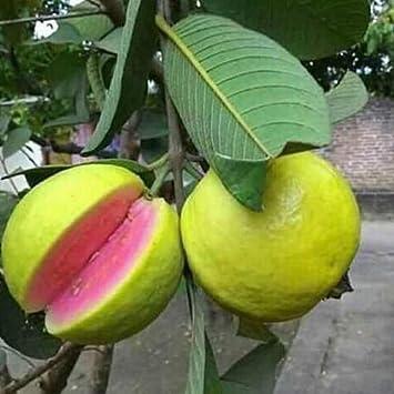 M-Tech Gardens Rare Apple Guava (Red Flesh - Apple Shape) - 1 Live Plant