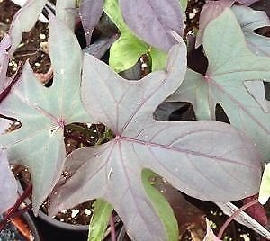 Sweet Potato Blackie - Ornamental Sweet Potato, Blackie - 12oz Pot - Live Plant +!
