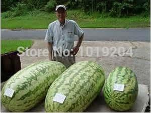 Fruit seeds 20PC mix natural growth of watermelon seeds, square watermelon seeds, mini potted plants