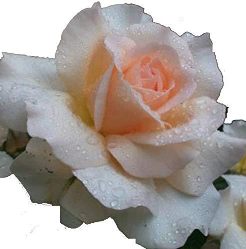 Rosa Bush Rose Floribunda 'MARGARET MERRIL' Plant Imberhorne Lane Nursery