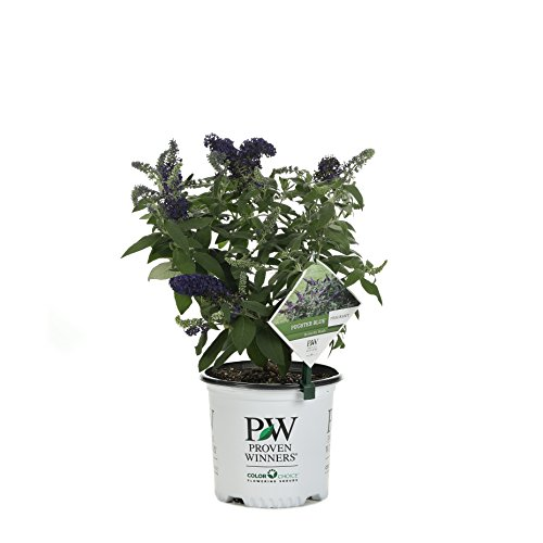 Pugster Blue Butterfly Bush (Buddleia) Live Shrub, Blue Flowers, 1 Gallon