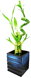 Set of 2 Live Spiral Lucky 7 Style Lucky Bamboo Plants Ceramic Vase