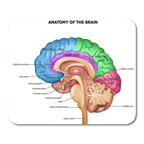 Emvency Mouse Pads Parts Human Brain Lobes Beautiful Colorful Detailed Anatomy Sagittal Mouse Pad for notebooks, Desktop Computers mats 9.5